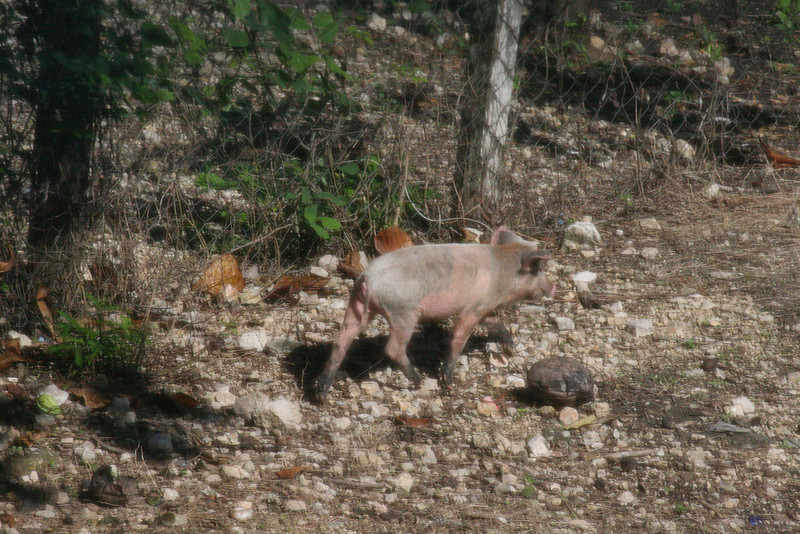 Every time I look outside my bedroom window I see something different.  This time it was a baby pig running away from a dog.  Eventually people had to save the poor piggy from the dog.