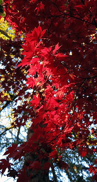 red leaves 0122.jpg