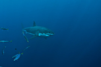 Great White Shark Diving at Guadalupe Island