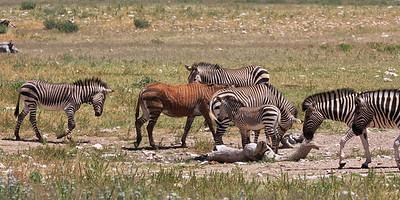 Hartmann's mountain zebras and Burchell's zebras