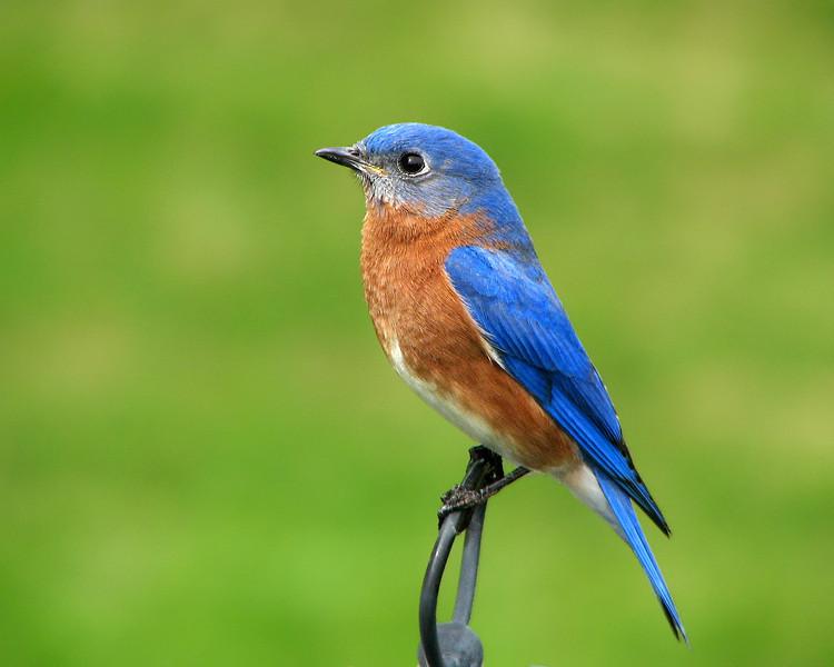 bluebird_4982.jpg
