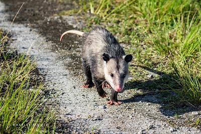 Opossum: 2019