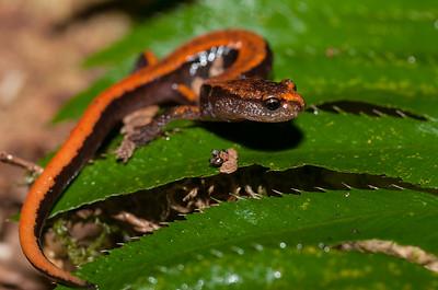 Western Red-backed Salamander