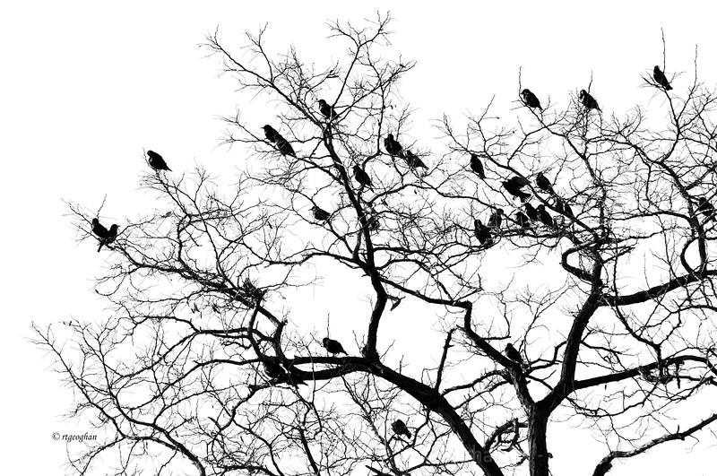 Mar 18_Birds Tree Silhouette final_5253.jpg