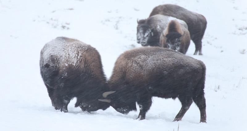 Bison playing