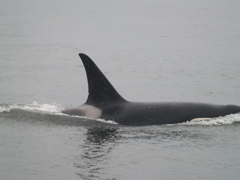 Male orca - resident group AF5