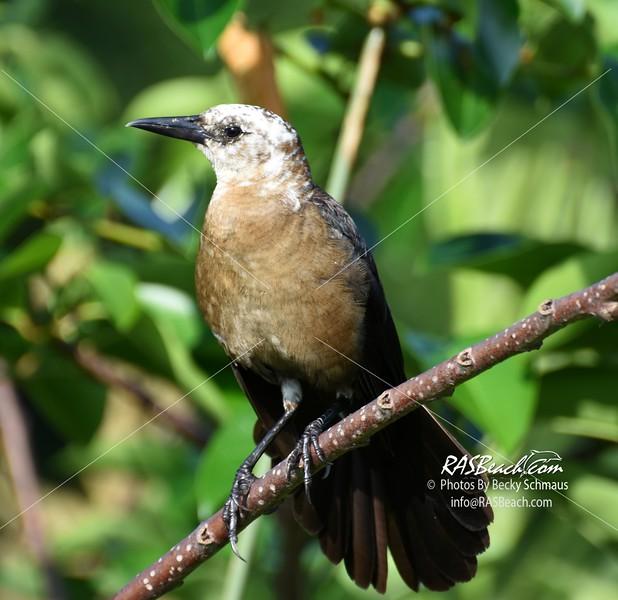 Mockingbird in the Wakodahatchee Wetlands, Palm Beach