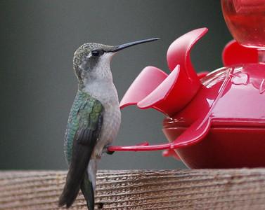 Humming Bird August 2013