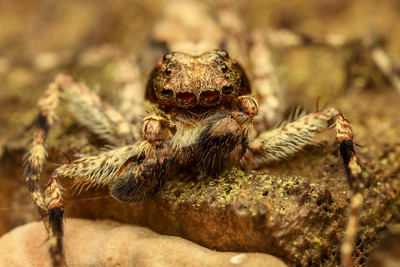 2018-12-03 Spiders at Pasir Ris Mangroves