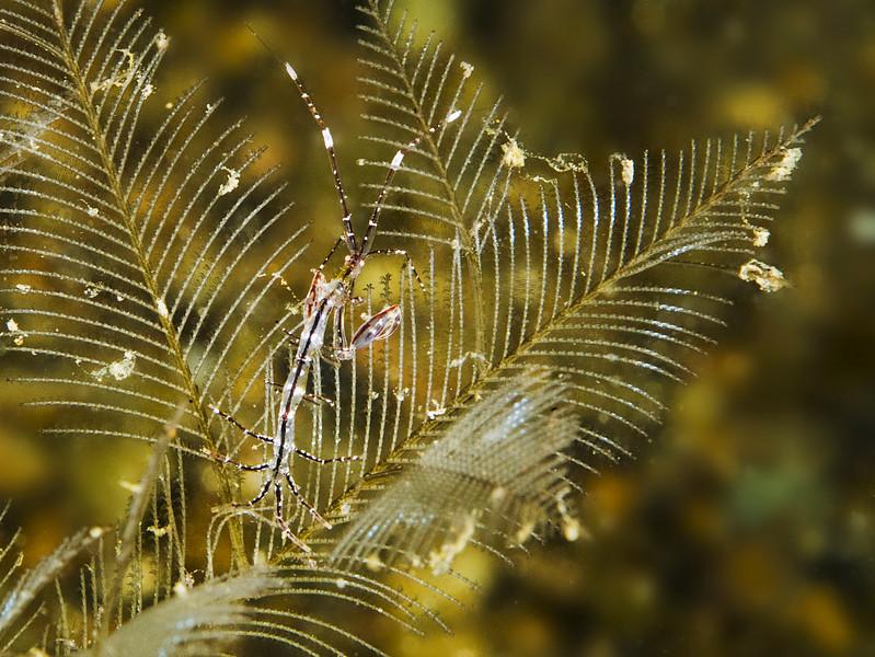 shrimp skeleton_dragon0743.jpg