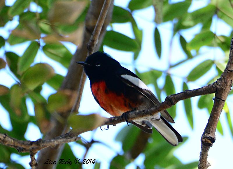 Redstart - 1/3/14 - Park Blvd, Balboa Park