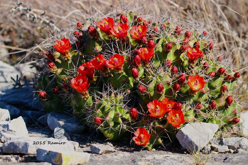 Blooming Cactus 3-14-15 169.jpg