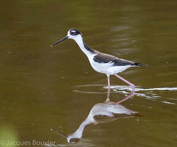 Waterbirds 3 (Walking) - Les oiseaux aquatiques 3 (Marcheurs)