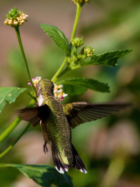 hummingbirdandlantana19.jpg