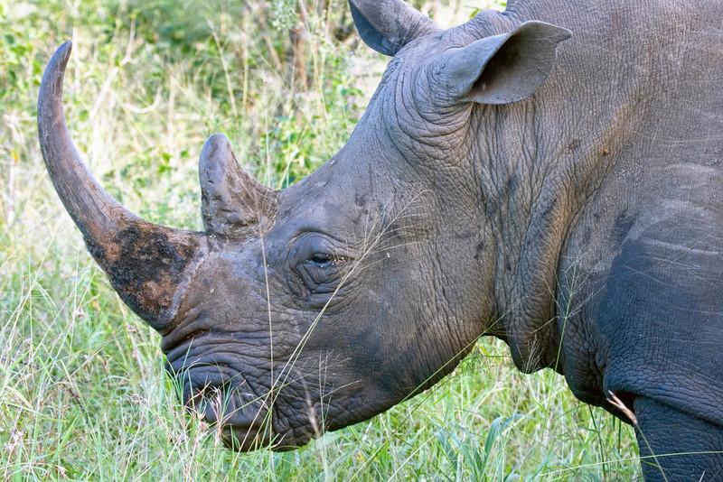 Head shot of a White Rhino at Hluhluwe Umfolozi, South Africa.