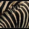 Stripes, Moremi, Botswana 2010