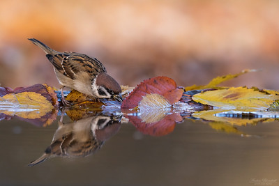 Sparrows / Sparvar