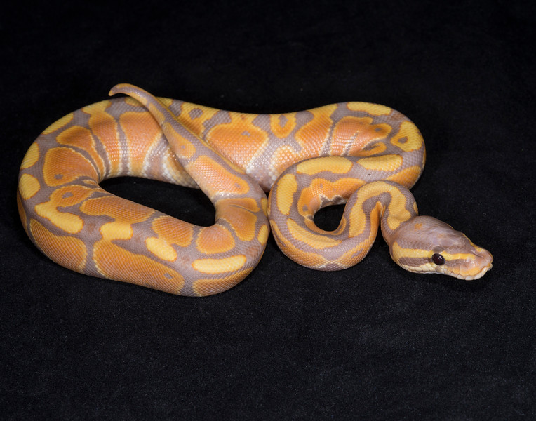 081MBAN, male Banana, $200