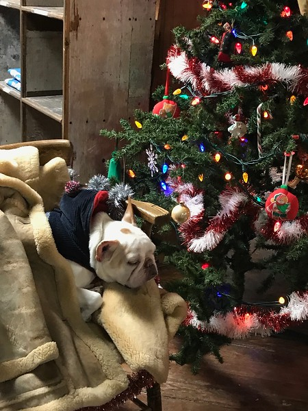 Dog and Christmas tree in a gift shop in Churchill