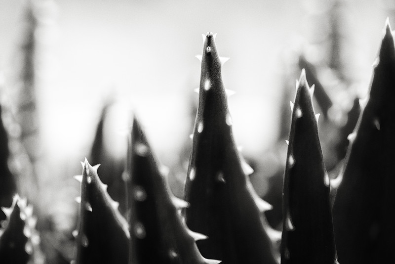 aloe spines