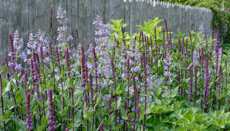 Salvia Cardonna & Catmint (1).jpg