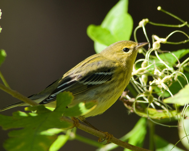 Uggh -- focus problems!  Such a close up look at a Pine Warbler, but an unsharp head never counts for much!