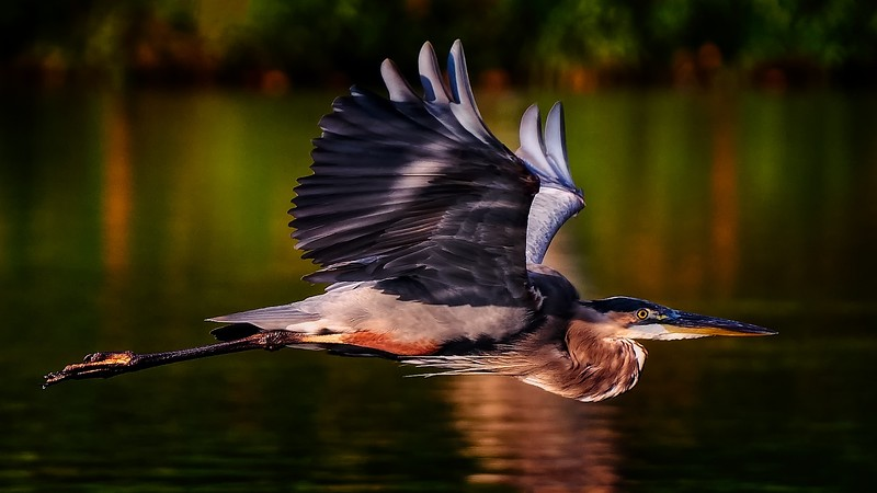 Early Morning GBH in Flight