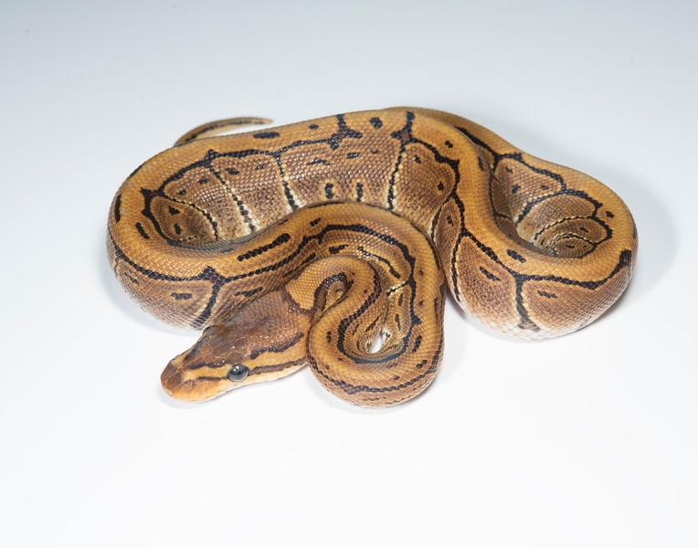 B2110, Female Pinstripe