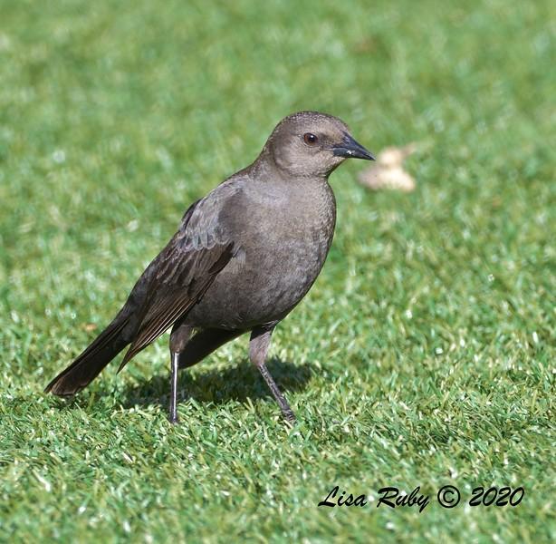 DSC_2138_BrewersBlackbird_c.jpg