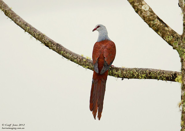 Great Cuckoo-Dove Reinwardtoena reinwardtii
