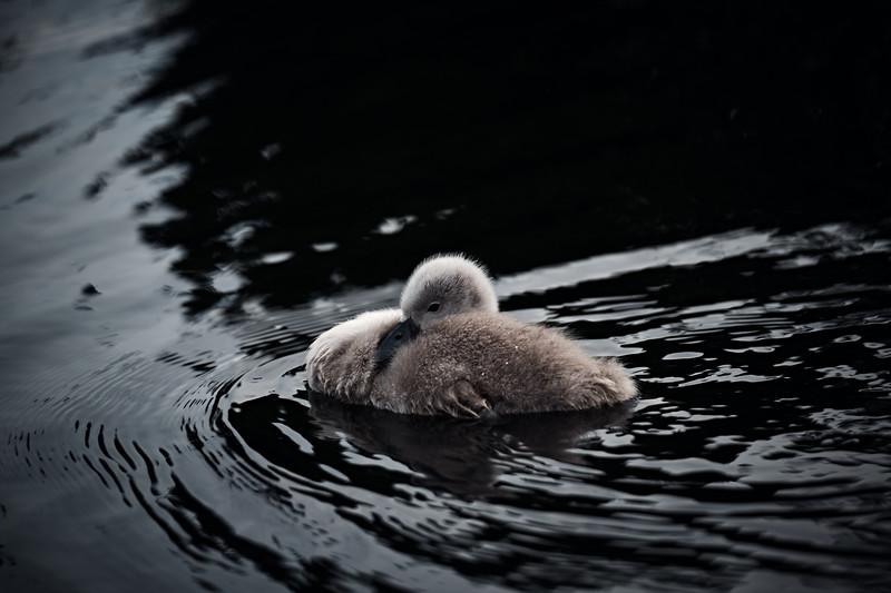 Swans_Of_Castletown015.jpg