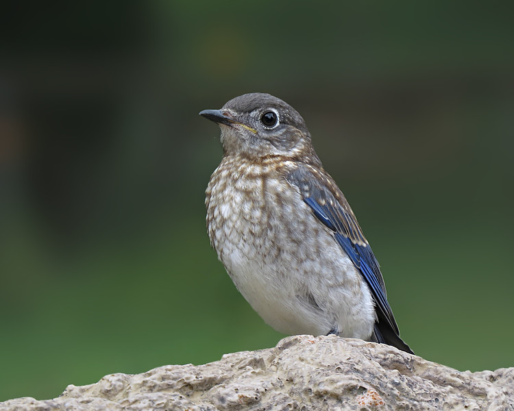 sx50_bluebird_fledgling_boas_393c.jpg