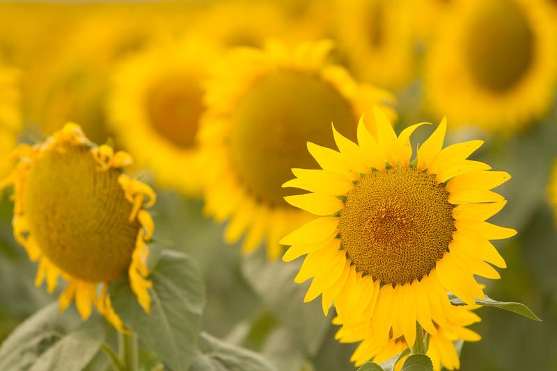 sun flowers-3913.jpg