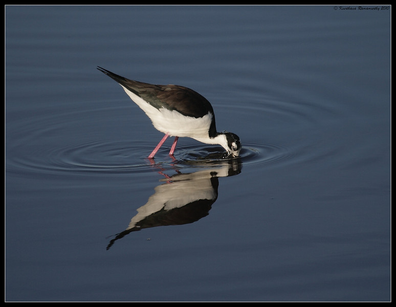 Black-necked Stilt, San Elijo Lagoon, San Diego County, California, March 2010