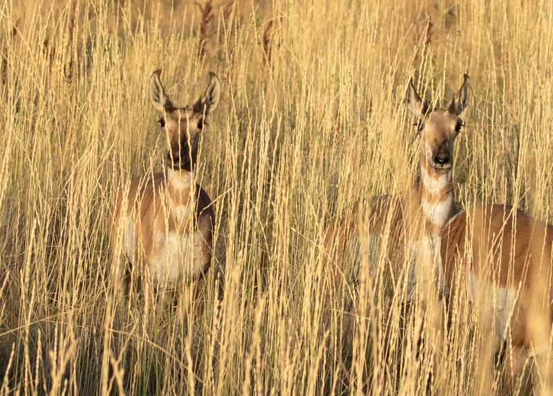 """Two Pronghorn Antelope Doe... """"Are You Looking At Me?"""""""