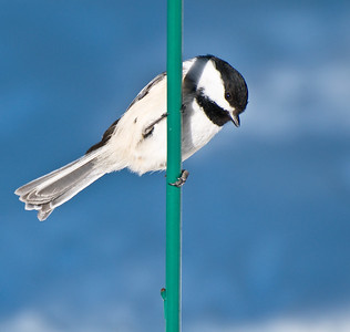 Chickadee  Taken Feb. 20, 2012 Elk Island Retreat Near Fort Saskatchewan, Alberta