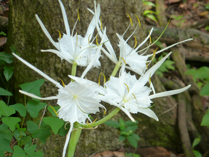 27 July 2014: Cheating quite a bit here. We're way off the Lake Piney Z loop. This spider lily -? is adjacent to LHT marker #4.