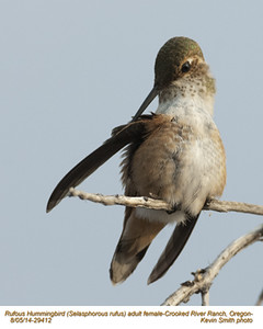 Rufous Hummingbird F29412.jpg