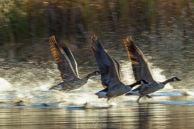 sm geese_M4D6503-2.jpg