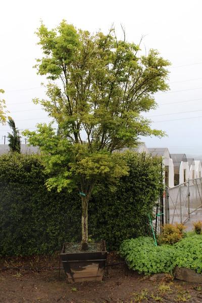 Acer palmatum 'Ao kanzashi' Specimen, 3.5 in, #30 box.JPG