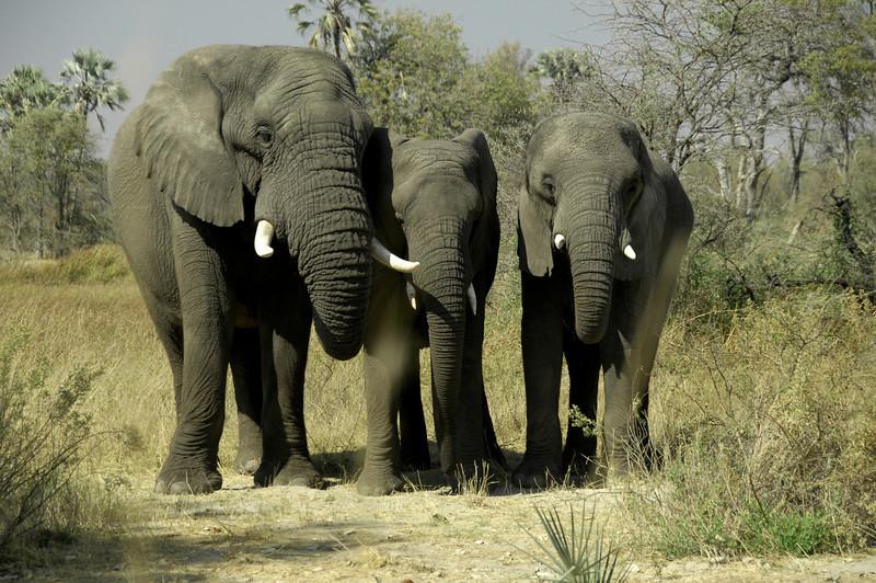 EPV0459 Doug Grove's Three Elephants Jabu, Thembi and Morula.jpg