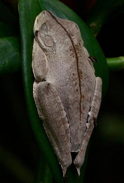 Rocket treefrog (Hyla lanciformis)