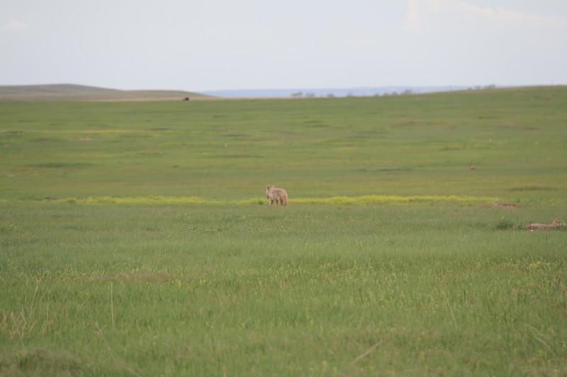 20140523-177-BadlandsNP-PrairieDogsCoyote.JPG