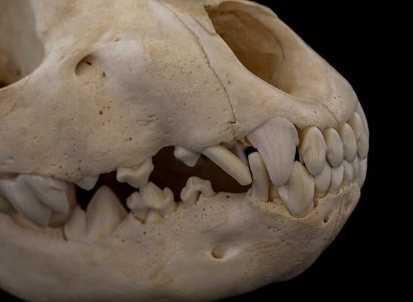 Immature Spotted Hyena (Crocuta crocuta) Hyaenidae