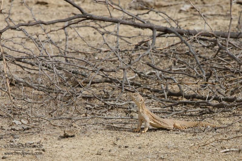 Spiny-tailed Lizard - Kutch, Gujrat, India