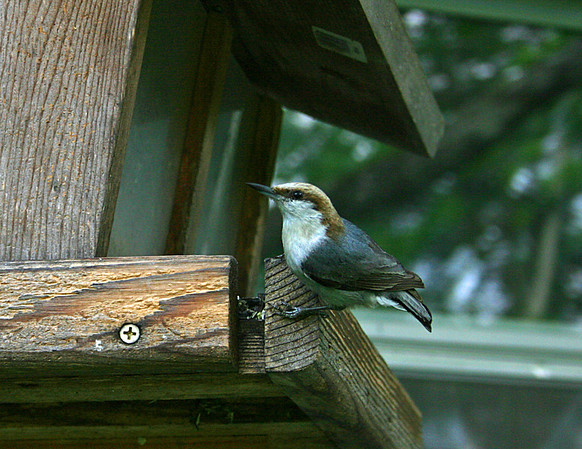 Chickadees, Wrens, Titmice, Kinglets, Nuthatches