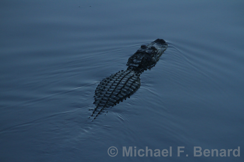Large Alligator at Sunset