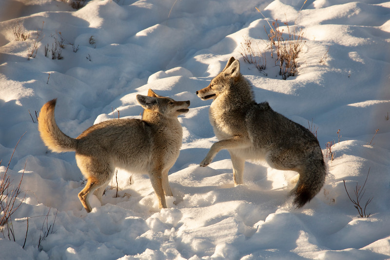 387A9581 Two coyotes fighting crop.jpg