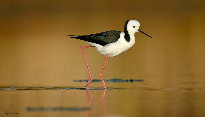 Black-winged Stilt balancing MASTER.jpg