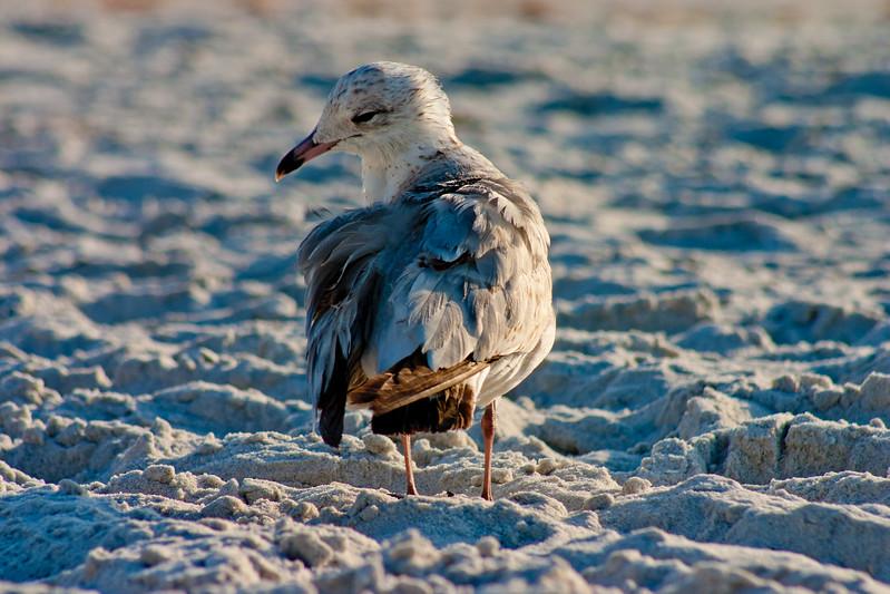 Sea Gulls in Florida